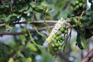 cây macca